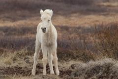 icelandic pony portrait