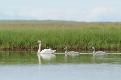 whooper swan and chicks
