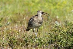 whimbrel calling