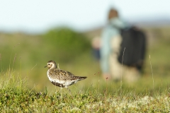Golden Plover tame