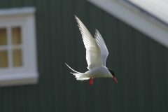 Arctic Tern hovering