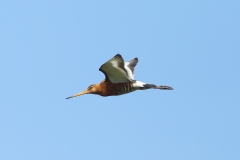 black tailed godwit photo