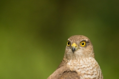 sparrowhawk serbia