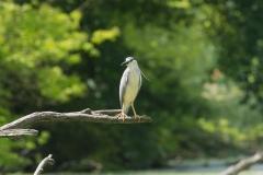 night heron photo