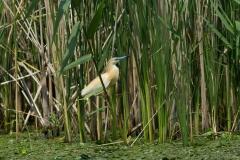 squacco heron photo