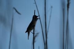 warbler singing
