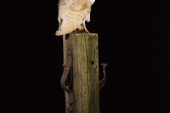 barnowlperchednight
