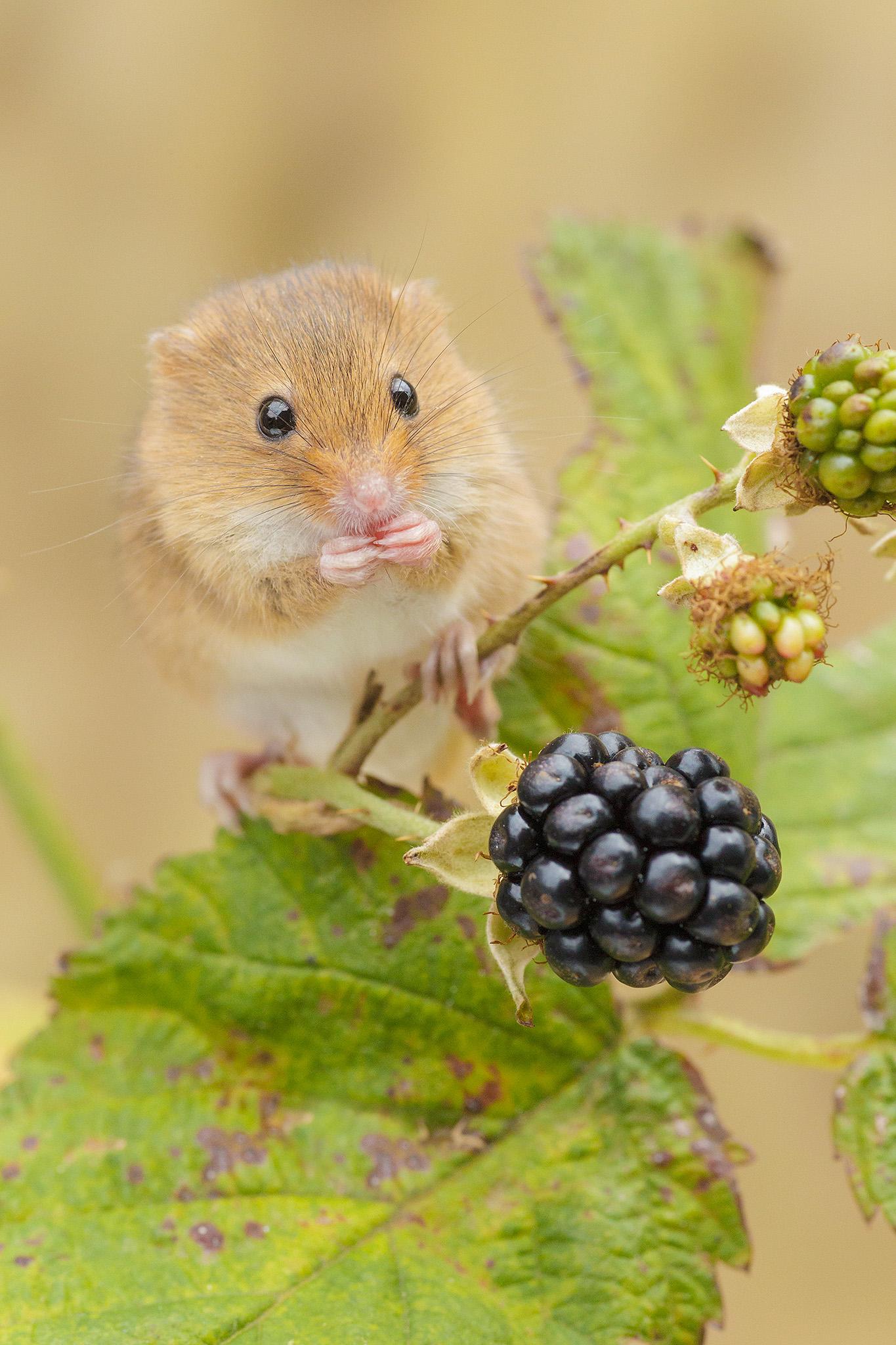 harvest mouse feeding