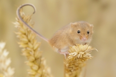 harvest mouse tail