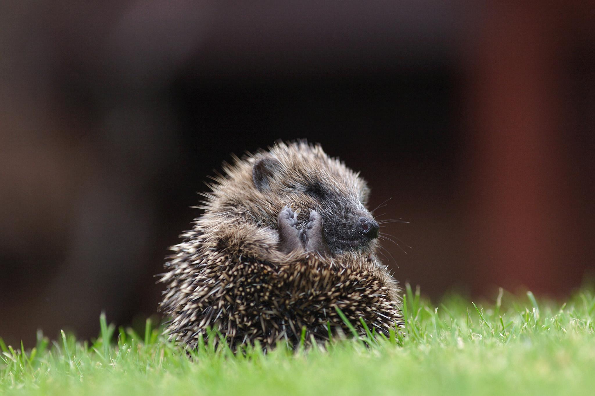 hedgehog in ball