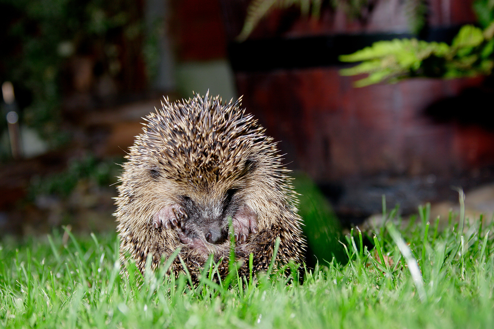 hedgehog curling ball