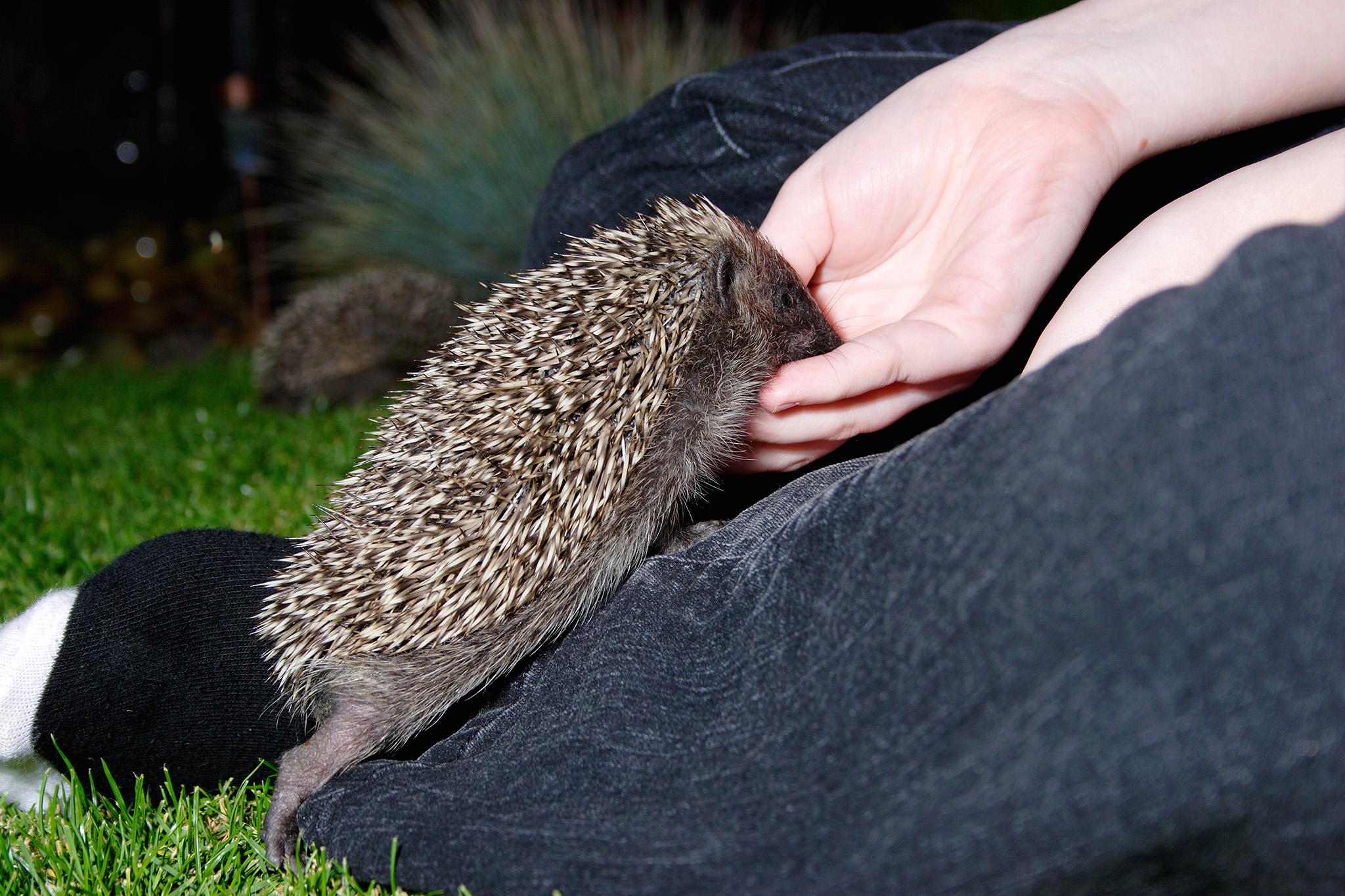hedgehog being fed