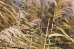 kingfisherreeds