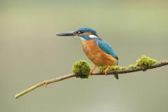 britishkingfisher