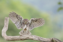 littleowlflying