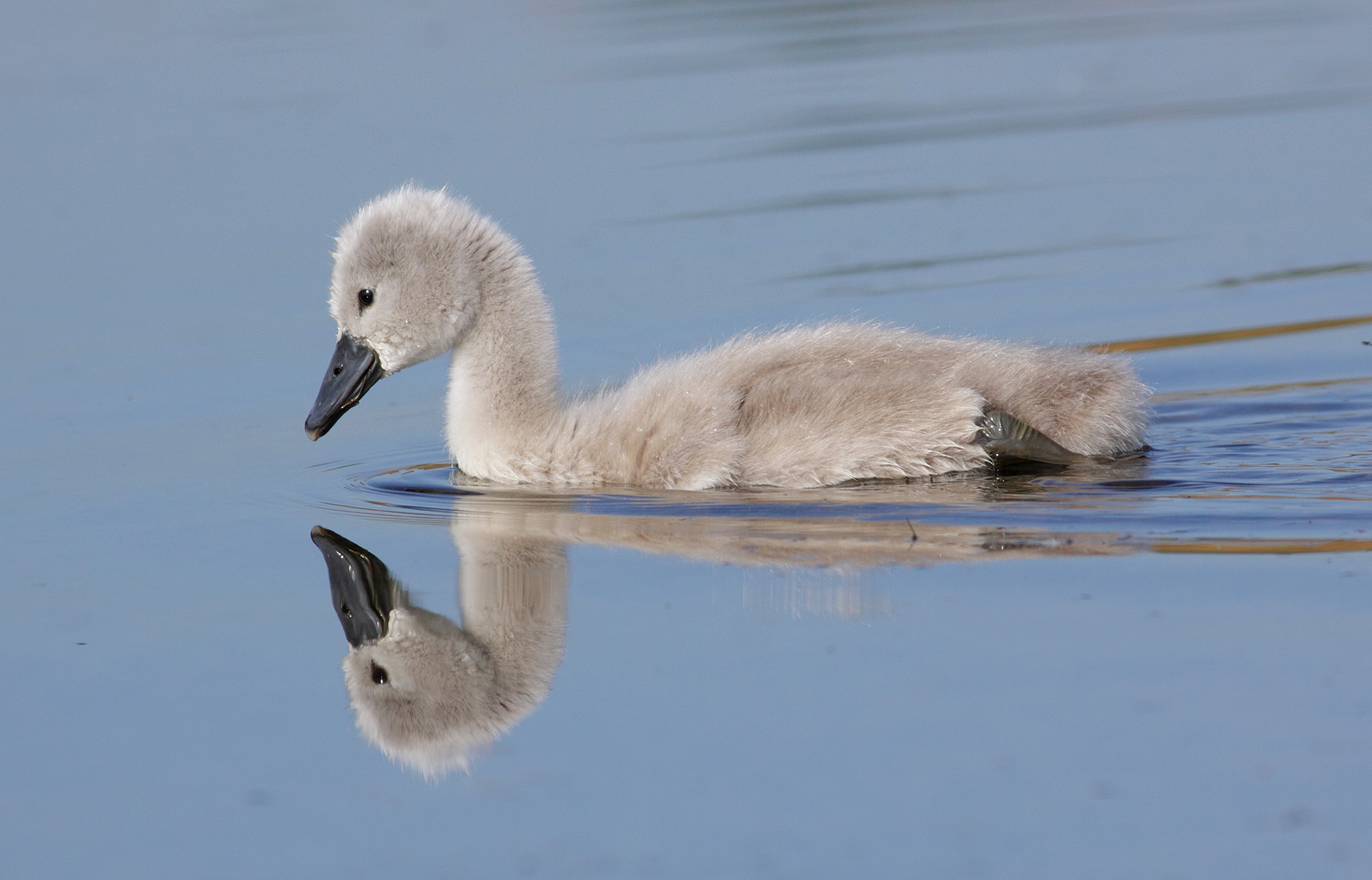 cygnet swimming