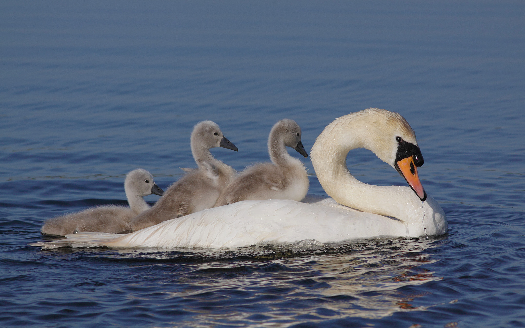 mute swan mother with cygnets