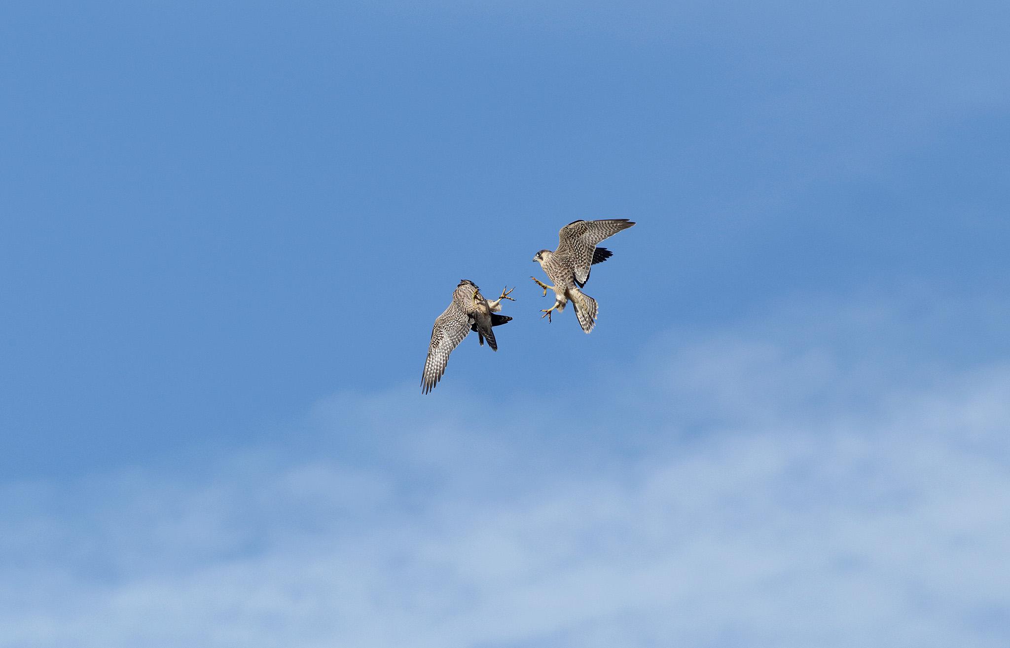 peregrinesfighting