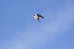 peregrineflying
