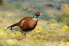 pheasant winter