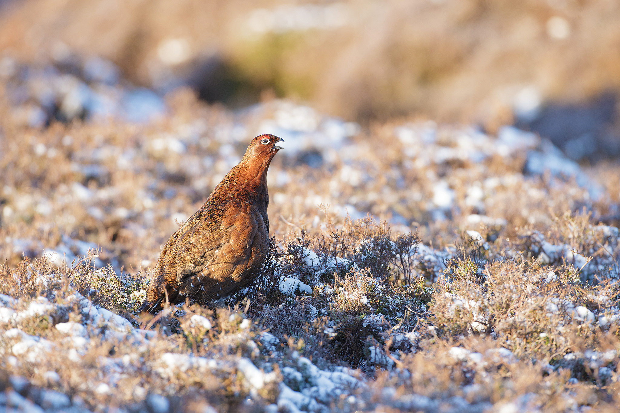 red grouse in snow