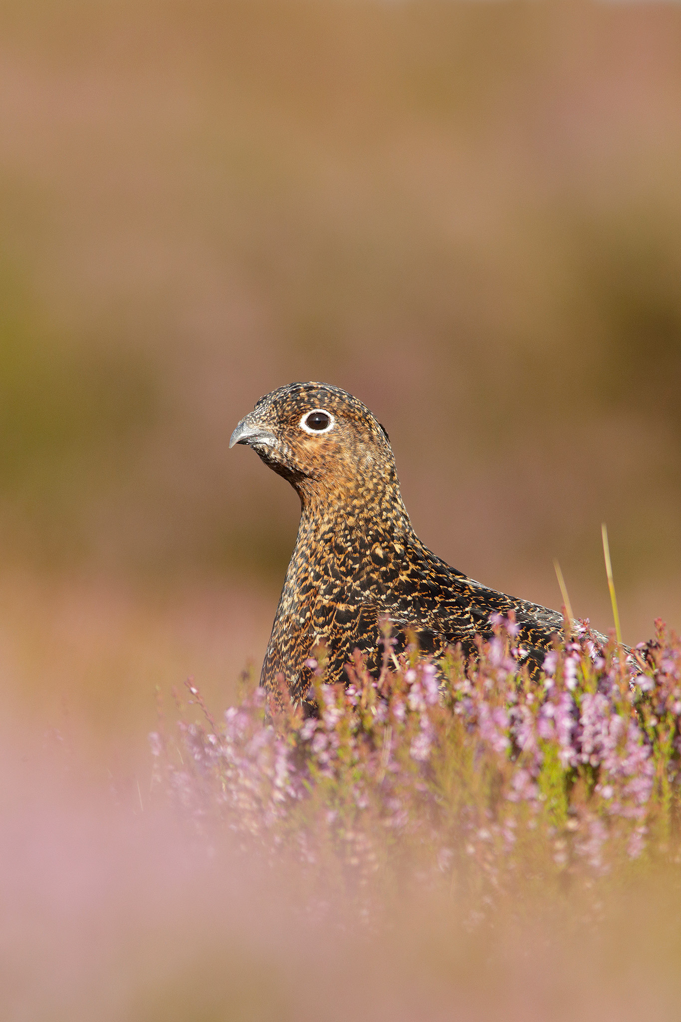 redgrouse