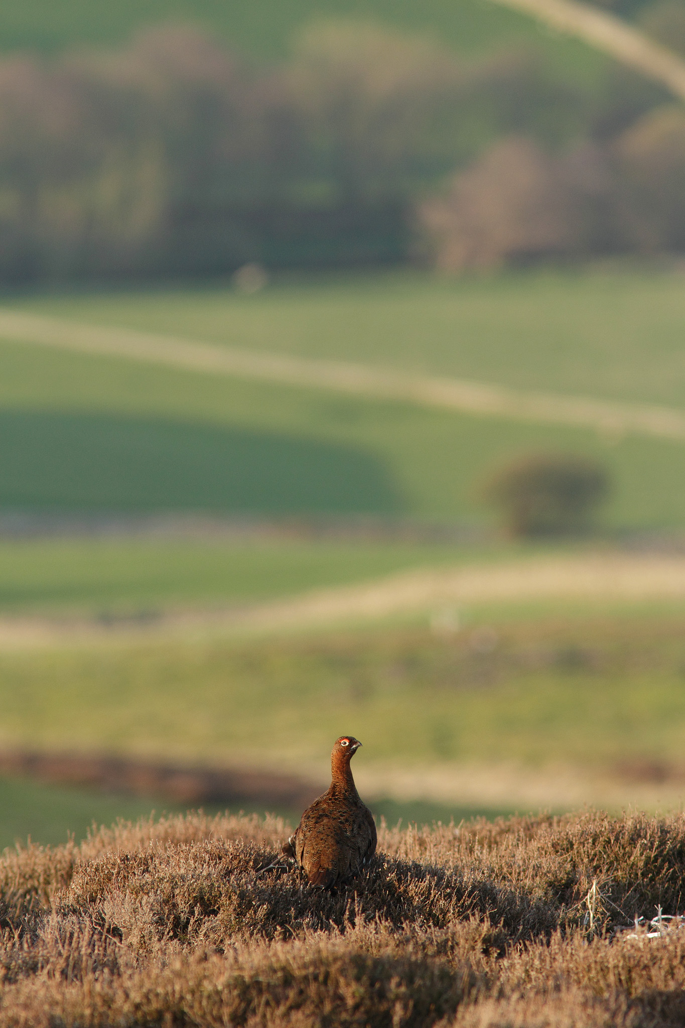 redgrouse in habitat