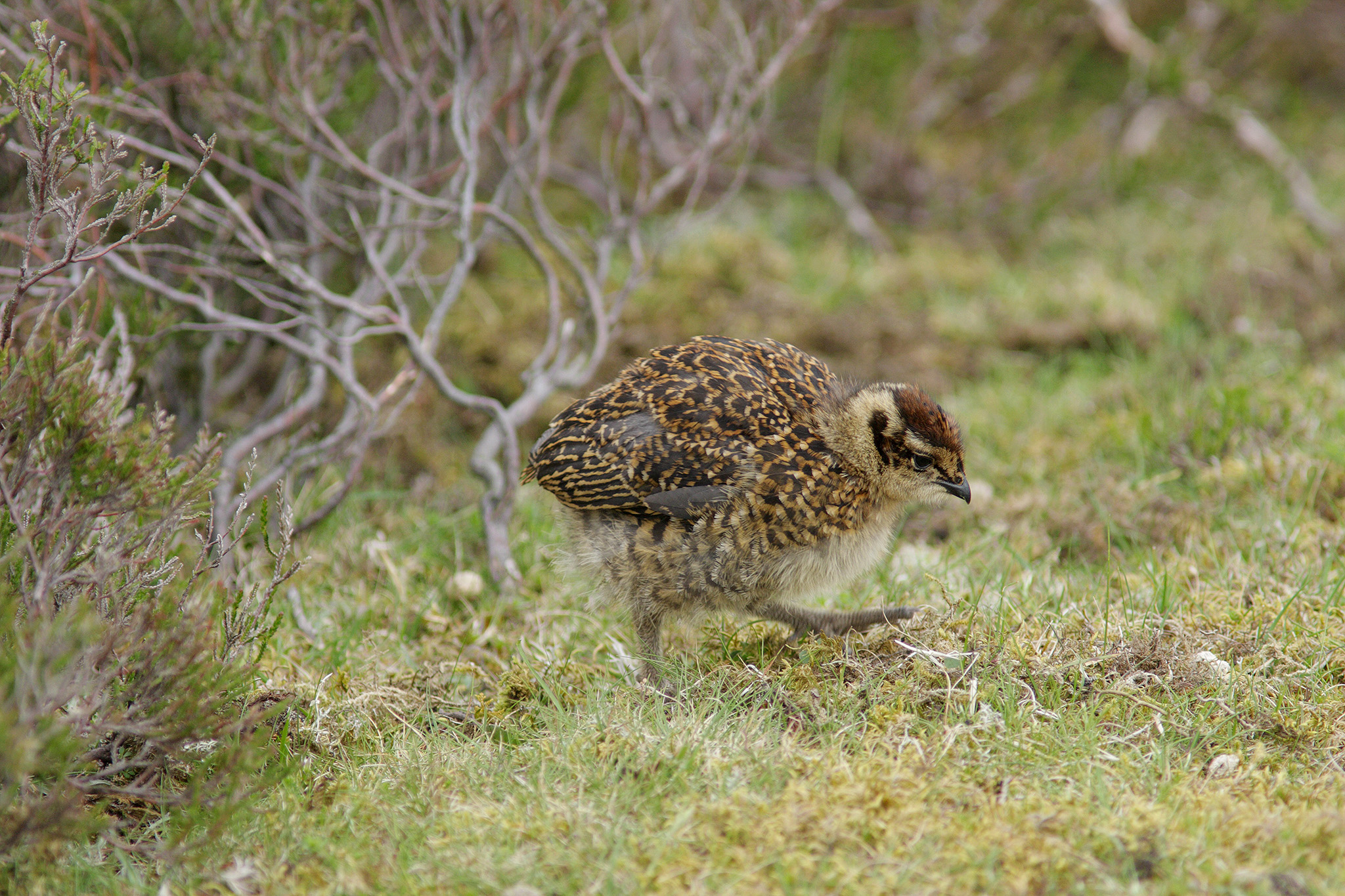 redgrouse chick