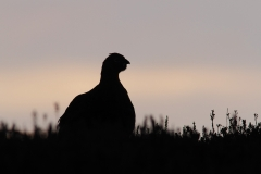 redgrouse silhouette