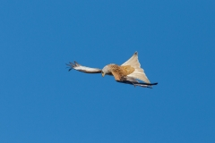 red kite twisting