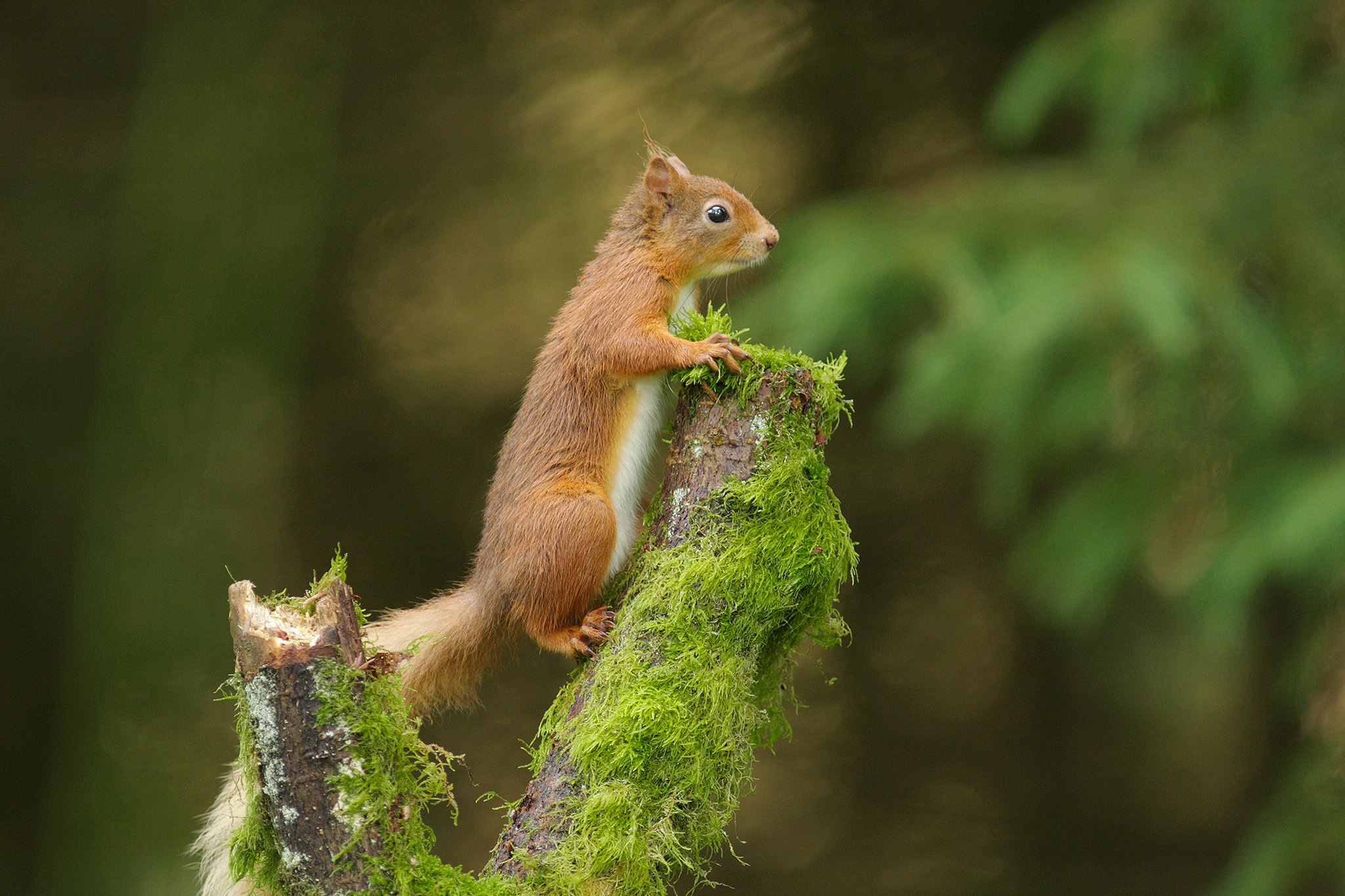 britishsquirrel
