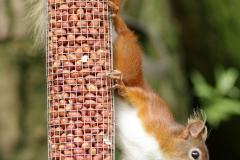 redsquirrelpeanuts