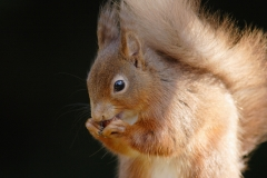 redsquirrelcloseup