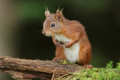 redsquirrelbritain