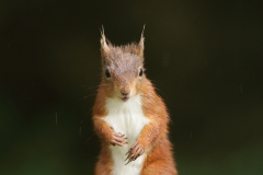 redsquirrelengland