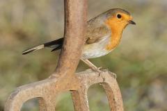 Robin on garden fork