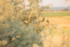 rollers birds