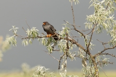 red footed falcon