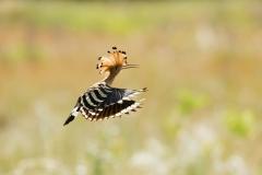 hoopoe flight