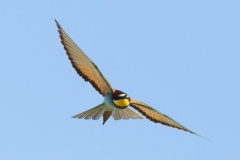 bee-eater flying