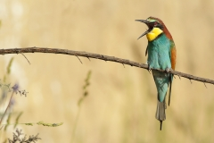 bee-eater funny