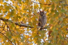 long eared owl serbia