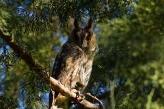 long eared owl roosting