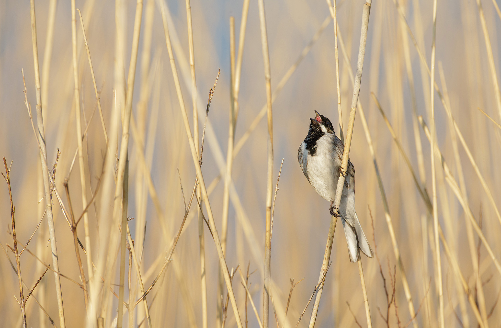 reed bunting photography
