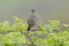 dunnock hedge sparrrow