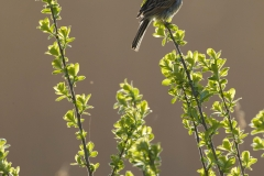 reed bunting photo