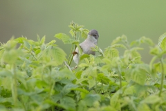 whitethroat photo