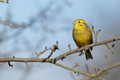 yellowhammer photo