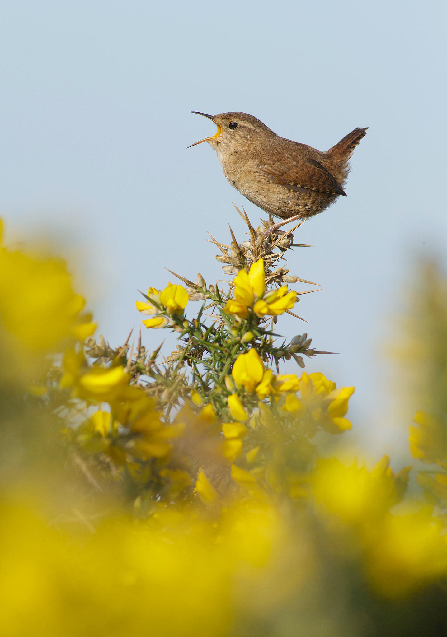 photographing wrens