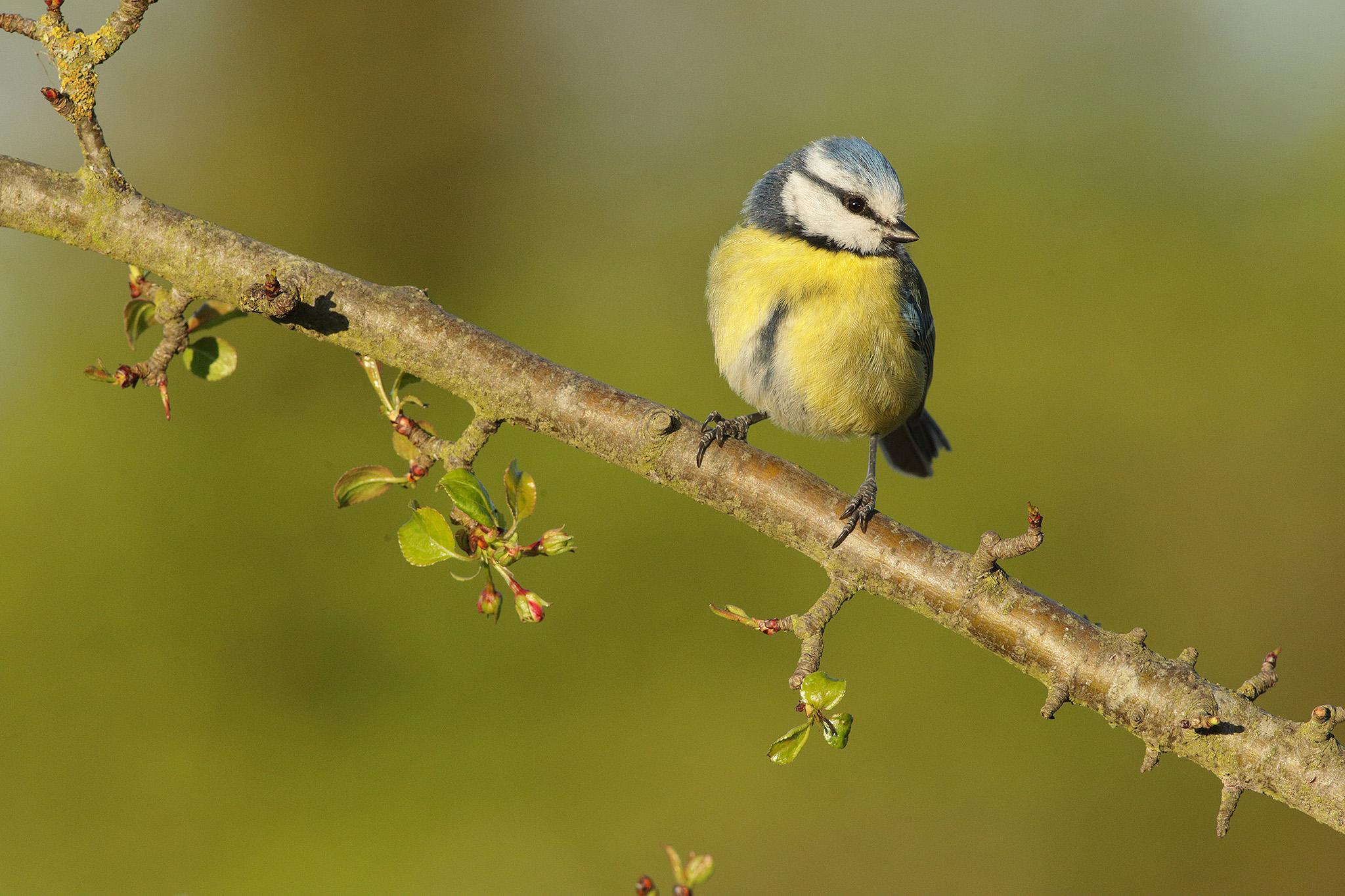 blue tit perched